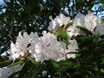 Rhododendron (Jacksonii)